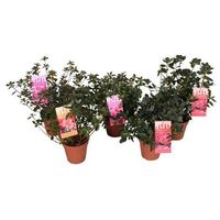 Azalea japonica mix (5425024764175)
