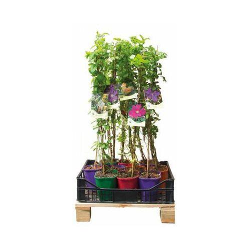 Kolorowy płot 6 mb - 10 roślin zestaw nr 1 CLEMATIS