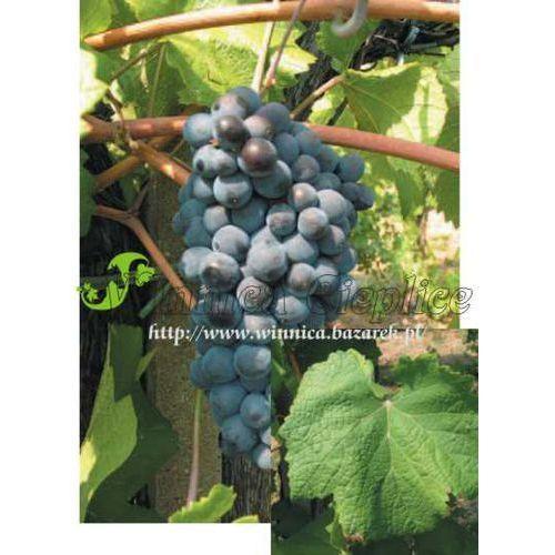 Sadzonka winorośli Pinot Noir