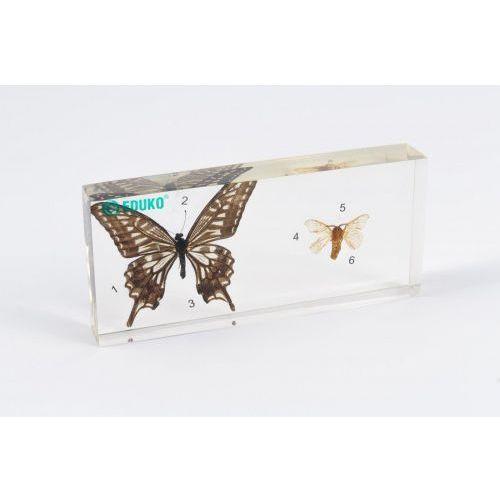 Motyl i ćma porównanie - preparat zatopiony w pleksi
