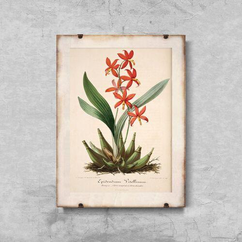 Vintageposteria.pl Plakat vintage do salonu plakat vintage do salonu kwiatowy nadruk epidendrum vitellinum
