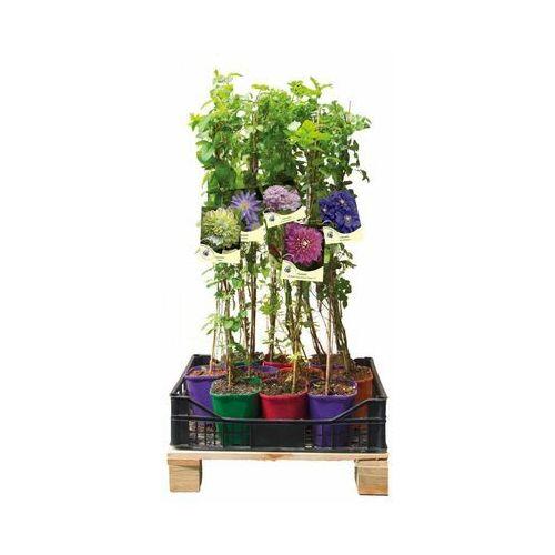 Kwiaty pełne uroku - zestaw 10 roślin CLEMATIS
