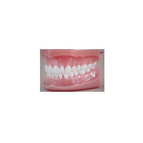 Model stomatologiczny zgryz idealny, baza różowa, wielkość naturalna
