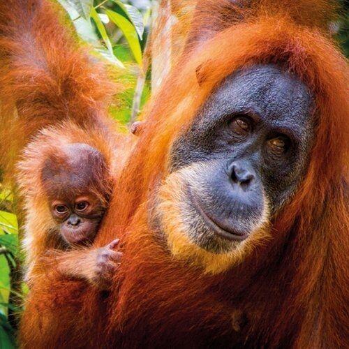 Karnet kwadrat z kopertą Sumatran Orangutan and Ba