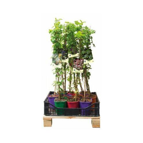 Pnącza miododajne - zestaw 10 roślin clematis marki Clematis źródło dobrych pnączy