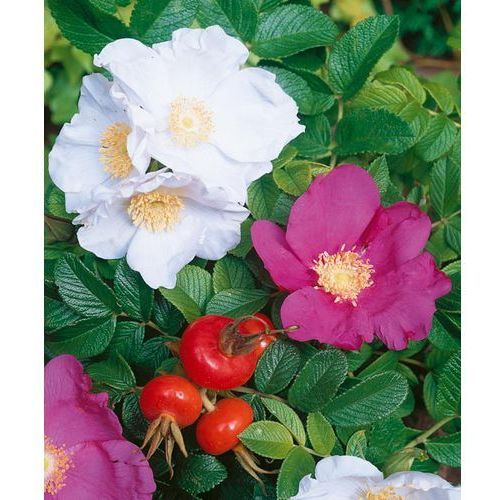 Róża pomarszczona 1 szt