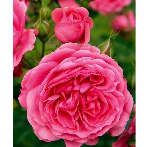 Róża parkowa emilia maria 1 szt marki Starkl