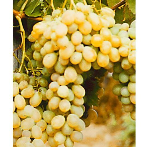 Starkl ´afuz ali´ - daktylowe winogrono 1 szt - OKAZJE