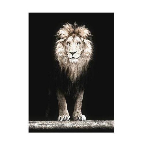 Art canvas Plakat lew 50 x 70 cm (5901844237964)