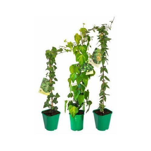Pnącza zimozielone - zestaw 10 roślin CLEMATIS