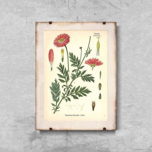 Plakaty w stylu retro plakaty w stylu retro aster z nadrukiem botanicznym marki Vintageposteria.pl