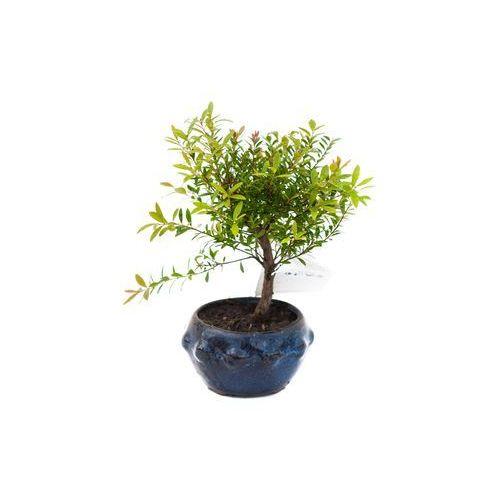 Drzewko Bonsai Syzigium