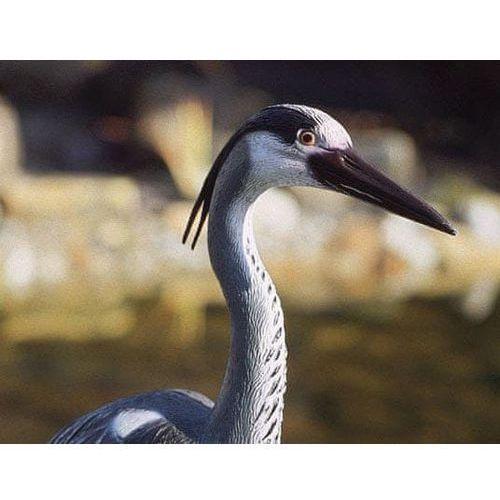 Pontec czapla ozdobna heron