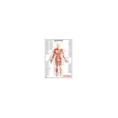 Ciało Człowieka - Przód - Mięśnie (wersja angielska) - plakat (5028486356836)