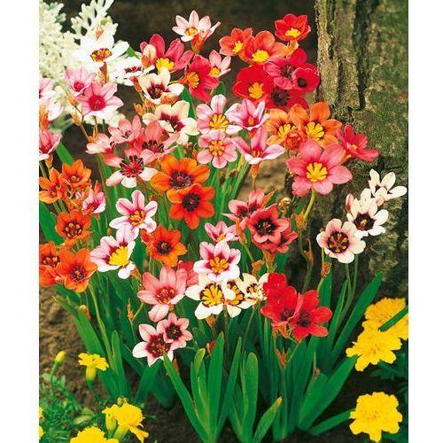 Kwiaty cygańskie 25 szt marki Starkl