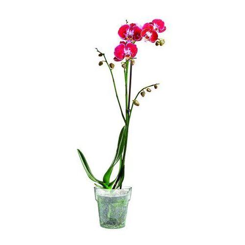 Phalenopsis mix 2 pędy. Najniższe ceny, najlepsze promocje w sklepach, opinie.