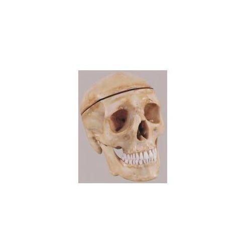 Model czaszki dorosłego