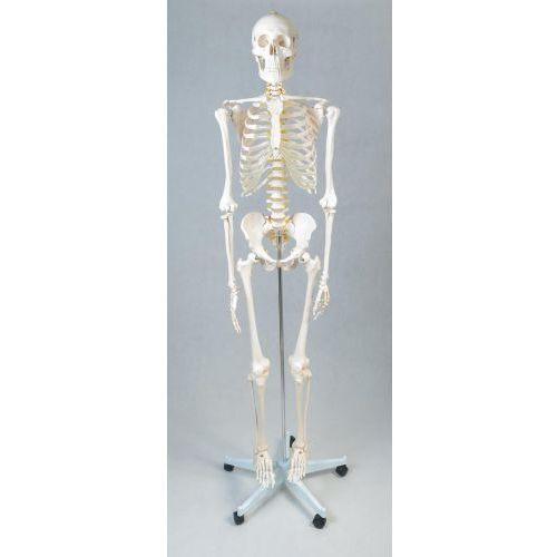Szkielet człowieka 170 cm marki Eduko