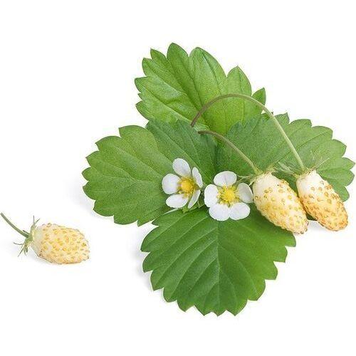 Véritable - krzewinki owocowe - wkład nasienny - biała poziomka (do doniczek autonomicznych) (3760262510729)