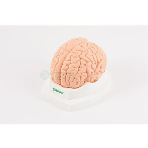 Mózg, 2 części - model E, C-EDU/06/31