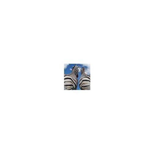 Zebry - Miłość - reprodukcja, RKS0293
