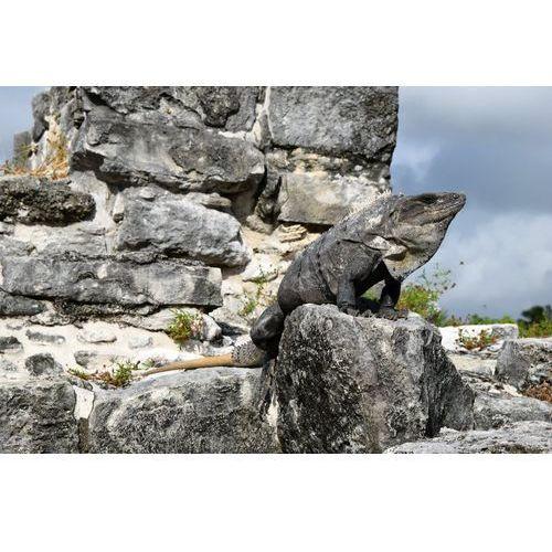 Deco-strefa – dekoracje w dobrym stylu Fototapeta duża iguana siedząca na skale fp 2466