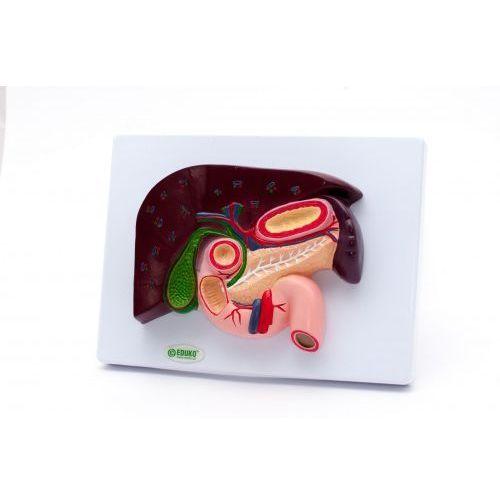 Wątroba z pęcherzykiem żółciowym, przekrój na tablicy, C-EDU-06/09