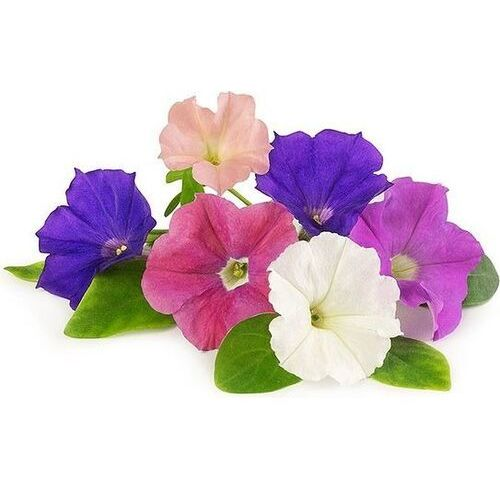 Véritable - Kwiaty Jadalne - wkład nasienny - petunia (do doniczek autonomicznych) (3760262511412)