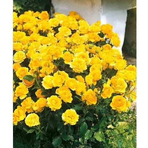 Róża rabatowa 'Gold Reef®' 1 szt