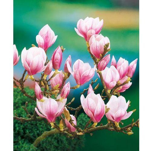Magnolia różowa 1 szt