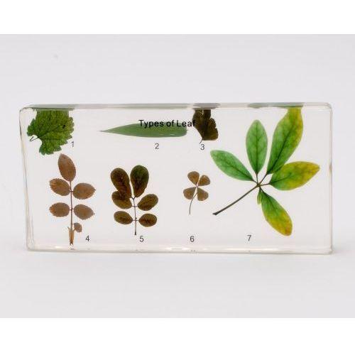 Typy blaszki liściowej - preparat zatopiony w pleksi ()