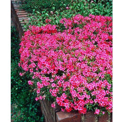 Płomyk szydlasty (floks) - różowy 1 szt marki Starkl