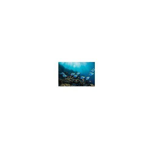 Galeria Rybki pokolec białobrody i złota rybka rafa koralowa - plakat