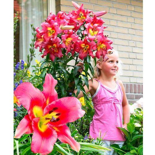 Gigantyczna lilia drzewiasta 'Satisfaction' 2 szt