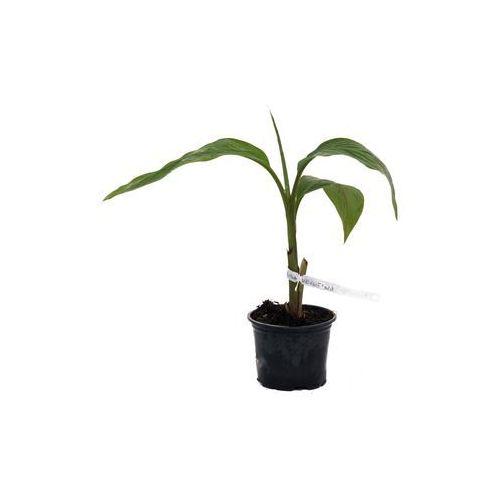 Bananowiec Musa Velutina sadzonka