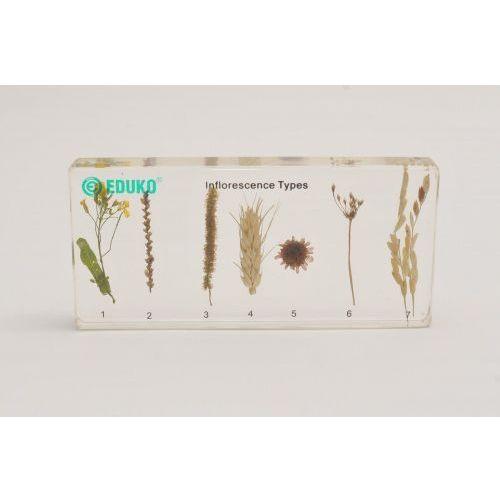 Typy kwiatostanów - preparat zatopiony w pleksi z kategorii Pozostałe