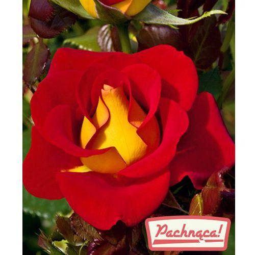 Starkl Róża wielkokwiatowa 'ketchup&mustard®'-pienna 1 szt