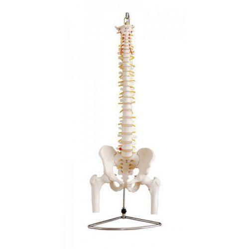 Kręgosłup z miednicą i głowami kości udowych - model E