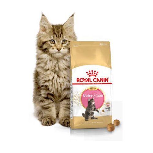 kitten maine coon 4kg marki Royal canin