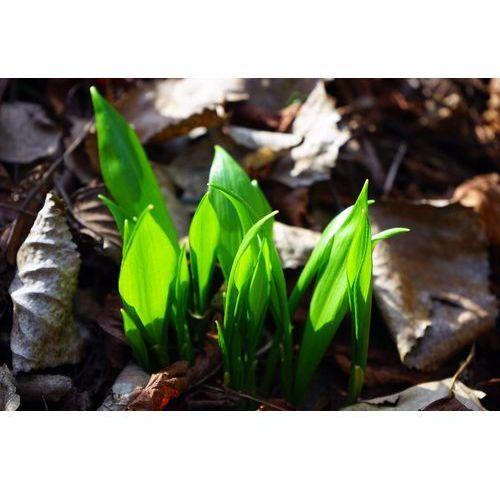 Fototapeta zielone listki przebijające się przez runo leśne FP 535