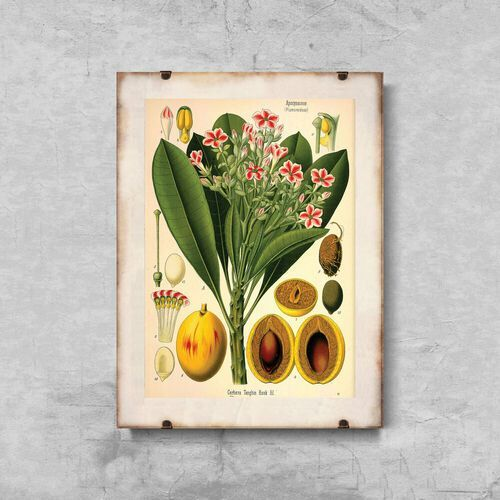 Vintageposteria.pl Plakat vintage do salonu plakat vintage do salonu botaniczny nadruk apocyaceae
