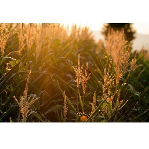 Wally - piękno dekoracji Fototapeta na ścianę kwitnąca kukurydza w promieniach zachodzącego słońca fp 703