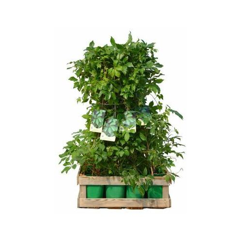 Zielony płot 12 mb - zestaw 12 roślin clematis marki Clematis źródło dobrych pnączy
