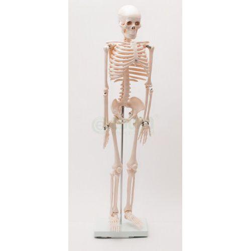 Szkielet człowieka 85 cm z mostkiem wyprodukowany przez Eduko