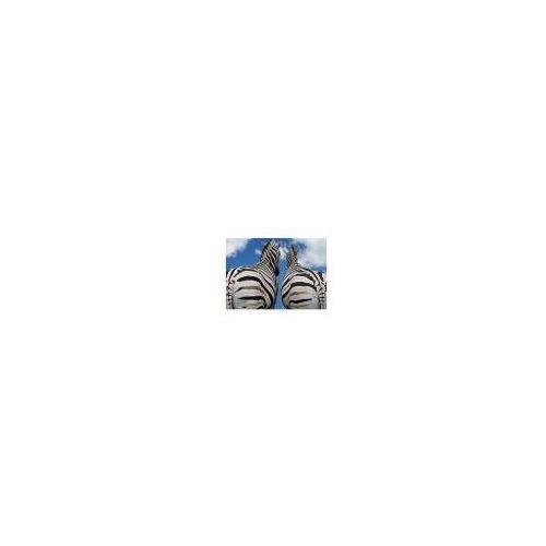 Zebry - Miłość - reprodukcja, RS0293