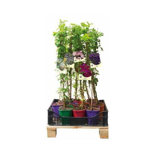 Clematis źródło dobrych pnączy Kolorowy płot 6 mb - 10 roślin zestaw nr 2 clematis (5907760166630)