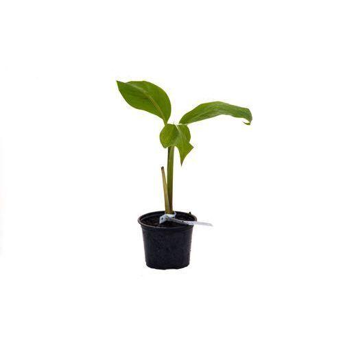 Bananowiec Musa Sikkimensis sadzonka