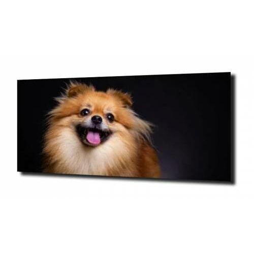 obraz na szkle Pomeranian pies szpic