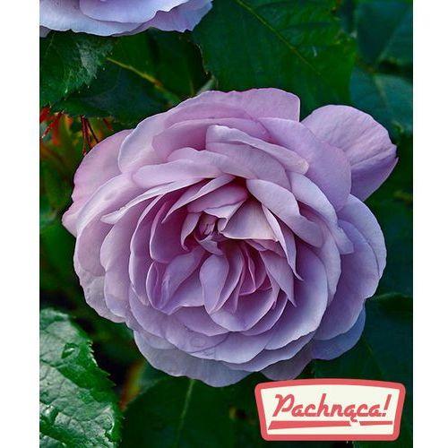 Starkl Róża wielkokwiatowa 'lady perfume®' - pienna 1 szt