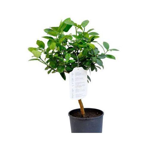 Kumkwat Obovata drzewko